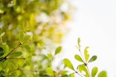 Tło natury liścia zielony drzewo Zdjęcie Royalty Free