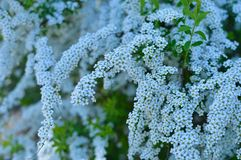Tło od gałąź jabłonie z białych kwiatów krzaków luksusową zielenią opuszcza fotografia royalty free
