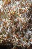 Tło od pszenicznego zarazka i ziarna zbliżenia Fotografia Stock