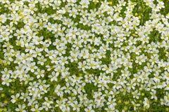 Tło od wiele białych małych kwiatów w naturze Fotografia Stock
