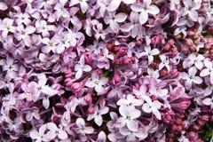 Tło od zespołu jaskrawego kwiatu kwiatonośnego bzu zdjęcia royalty free