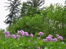Tło od zielonej łąki z pięknym fiołkiem kwitnie, drzewa r, unspoiled natura zdjęcia stock
