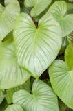 Tło od zielonych liści Obraz Royalty Free