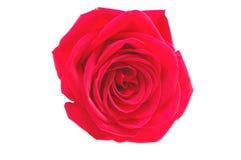 tło odizolowywał jeden czerwieni róży biel fotografia stock