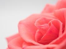 tło odizolowywający menchii róży biel obrazy stock