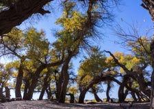 tło odizolowywający nad topolowego drzewa biel Zdjęcia Stock