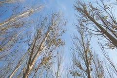tło odizolowywający nad topolowego drzewa biel Zdjęcia Royalty Free