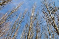 tło odizolowywający nad topolowego drzewa biel Fotografia Royalty Free