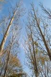 tło odizolowywający nad topolowego drzewa biel Zdjęcie Stock
