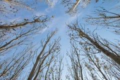 tło odizolowywający nad topolowego drzewa biel Obraz Royalty Free