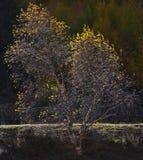 tło odizolowywający nad topolowego drzewa biel Obraz Stock