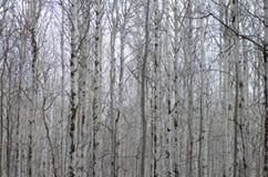 tło odizolowywający nad topolowego drzewa biel Obrazy Stock