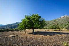 tło odizolowywający nad topolowego drzewa biel Zdjęcie Royalty Free