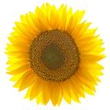tło odizolowywający pojedynczy słonecznikowy biel Zdjęcie Stock