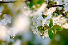 tło odosobnionej wiosny drzewny biel zdjęcie royalty free