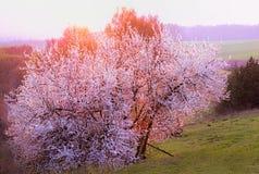 tło odosobnionej wiosny drzewny biel obrazy royalty free