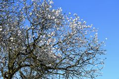 tło odosobnionej wiosny drzewny biel Piękny kwiatonośny migdał zdjęcia stock