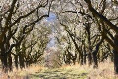 tło odosobnionej wiosny drzewny biel Piękny kwiatonośny migdał zdjęcia royalty free