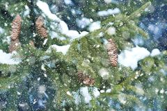 tło płatków śniegu biały niebieska zima Zamazana śnieżna świerczyna i opad śniegu Zdjęcia Stock