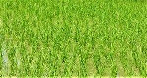 Tło piękny, świeży zielony ryżu pole, zdjęcia stock