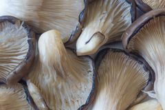 Tło Pleurotus ostreatus Ostrygowe pieczarki, przyglądający przez blaszek up Zdjęcia Royalty Free
