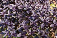 Tło purpurowi basilów liście i ich rośliny zdjęcia stock