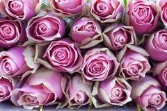 tło róże Zdjęcia Royalty Free