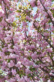 tło różowy Sakura obrazy stock