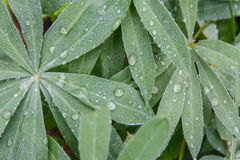 Tło rośliny z zielenią opuszcza z kroplami jasna rosa na one Obrazy Royalty Free