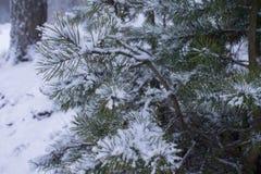 Tło rozgałęzia się jedlinowego drzewa zakrywającego z śniegiem Zdjęcie Stock