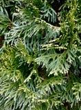 tło rozgałęzia się ziemską zieleń Zdjęcie Stock