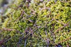 Tło rozmyty lasowy jesień mech z sosnowymi igłami Obraz Royalty Free