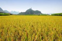 tło ryż śródpolni halni Zdjęcia Stock