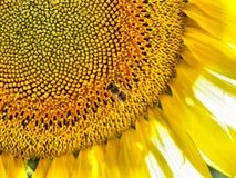 tło słonecznik Obrazy Stock