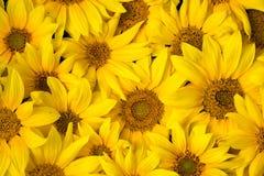 tło słoneczniki Obraz Stock