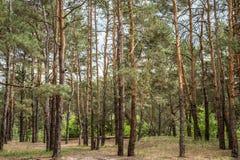 Tło, sosnowy las na całości ramy, Horyzontalna rama Zdjęcia Stock