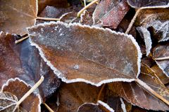 Tło spadać liście zakrywający z hoarfrost obraz royalty free