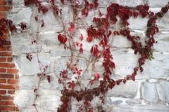 Tło stara ściana bielu kamień i czerwoni liście dzicy winogrona fotografia stock