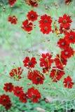 tło stokrotka kwitnie czerwień Obraz Stock