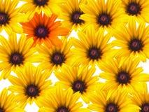 tło stokrotki kolor żółty Zdjęcia Royalty Free