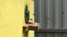 Tło sześciokąta tekstura, wosku honeycomb od pszczoła roju wypełniał z złotym miodem zbiory