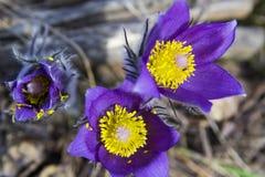 Tło tapety obrazków grupa purpurowa śnieżyczka pierwiosnków trawa Obraz Stock