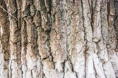 Tło, tekstura, drzewna barkentyna, centennial dąb fotografia stock