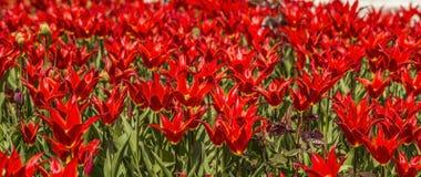 Tło tekstura kwiatu łóżko czerwoni tulipany Obrazy Stock
