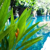 Tło, tekstura tropikalny liść Zwrotniki, egzot rośliny Obraz Stock