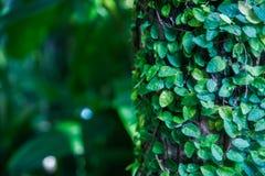 Tło, tekstura tropikalny liść Zwrotniki, egzot rośliny Obrazy Royalty Free