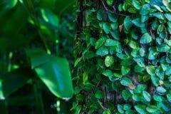 Tło, tekstura tropikalny liść Zwrotniki, egzot rośliny Fotografia Stock