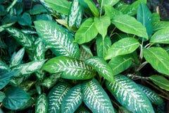 Tło, tekstura tropikalny liść Zwrotniki, egzot rośliny Obrazy Stock