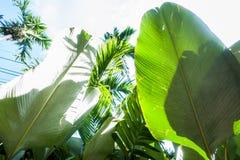 Tło, tekstura tropikalny liść Zwrotniki, egzot rośliny Obraz Royalty Free
