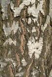 tło tekstury drzewnego bagażnika brzozy barkentyna zdjęcie royalty free